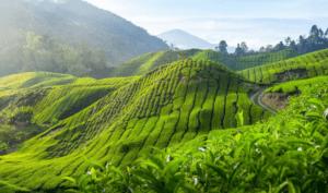 Дарджилинга плантации
