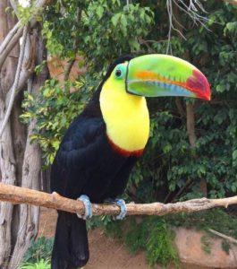 Птица Тенериф
